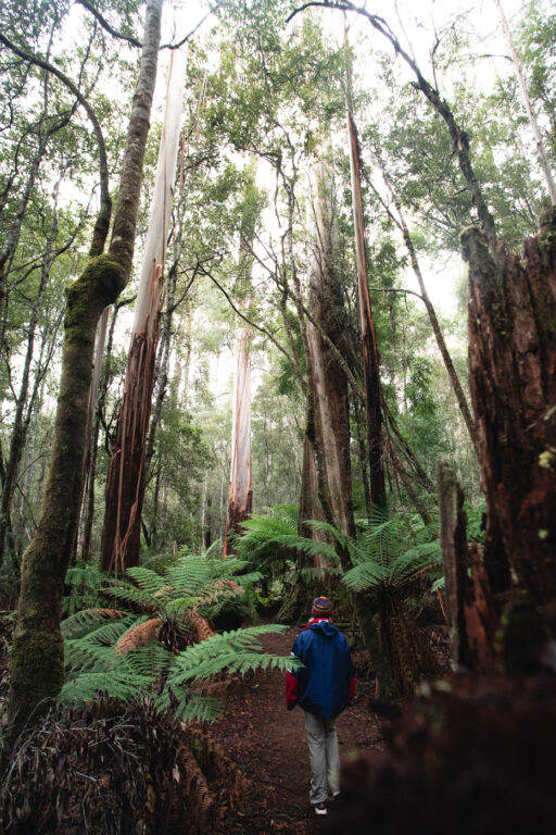 TREES AT MOUNT FIELD NATIONAL PARK