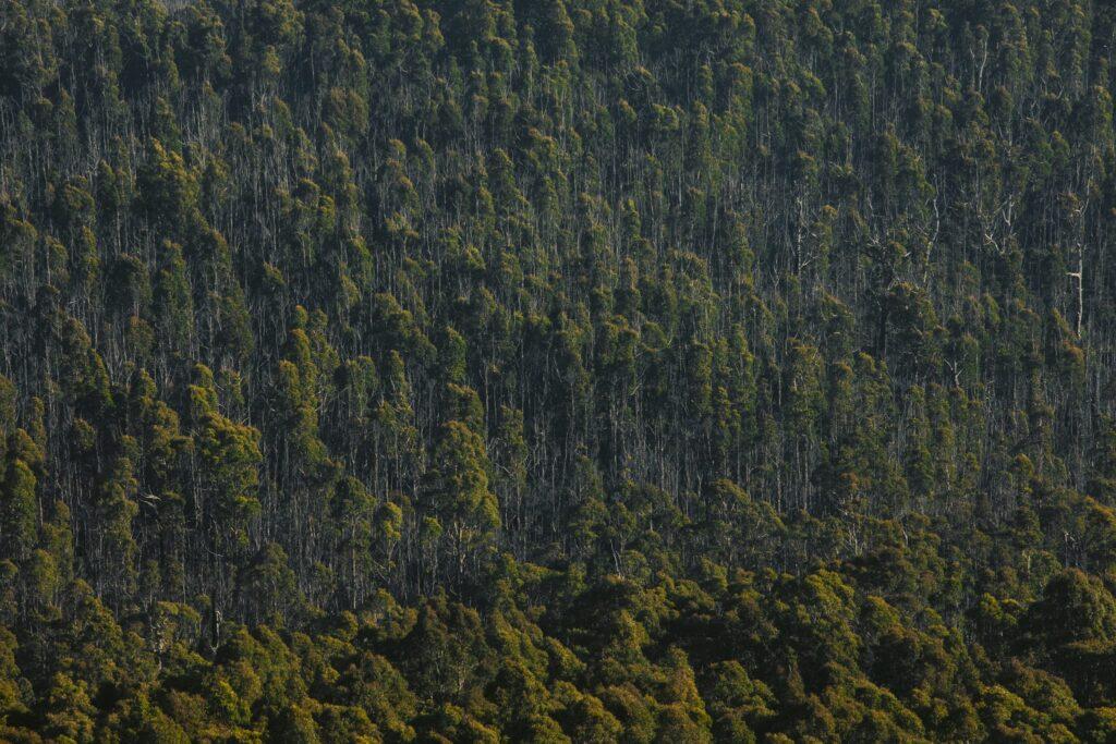 EUCALYPT FOREST IN TASMANIA