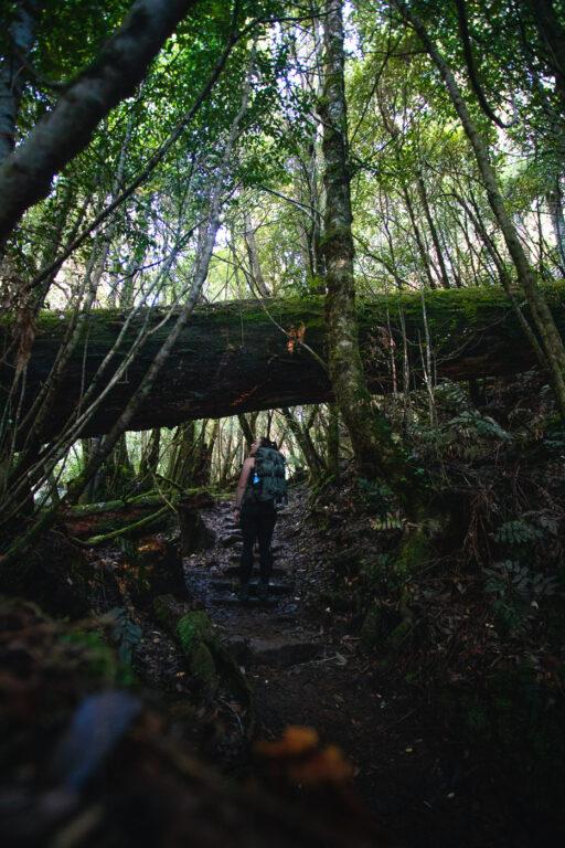 MYRTLE FOREST WALK AND COLLINS CAP IN TASMANIA