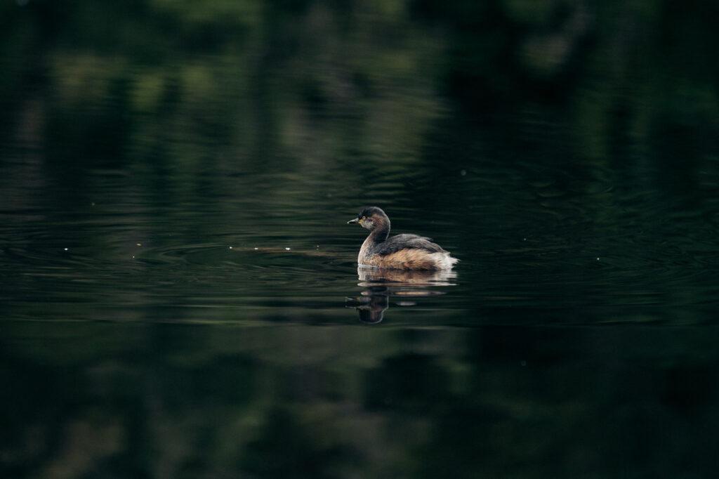 DUCK ON DUCKHOLE LAKE
