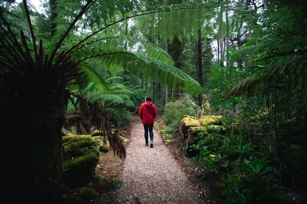 HUON PINE RAINFOREST WALK TASMANIA TAHUNE FOREST