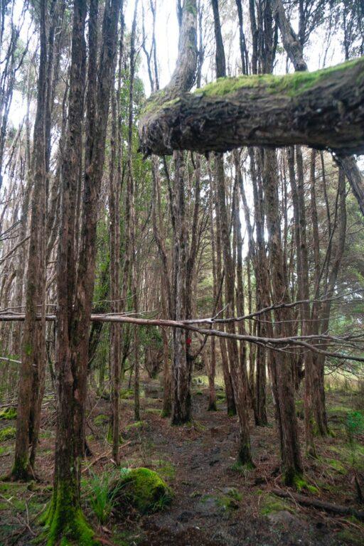 TASMANIAN FORESTS ON THE QUAMBY BLUFF WALK
