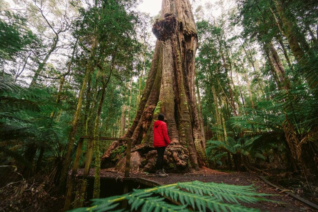 BIG TREE NEAR DIP FALLS IN TASMANIA