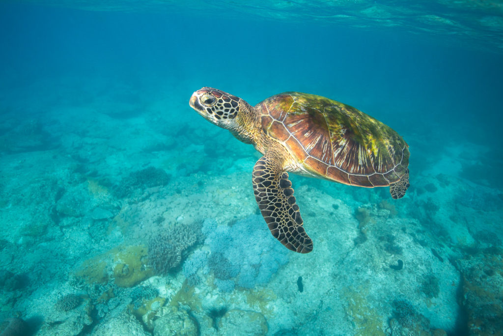 SWIM WITH TURTLES IN CAIRNS, GREAT BARRIER REEF
