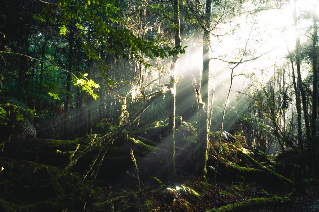SUNRAYS ON THE PHILOSOPHER FALLS TRACK, TASMANIA