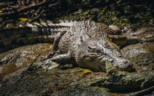DAINTREE RIVER CROCODILE TOUR FROM CAIRNS WITH SOLAR WHISPER