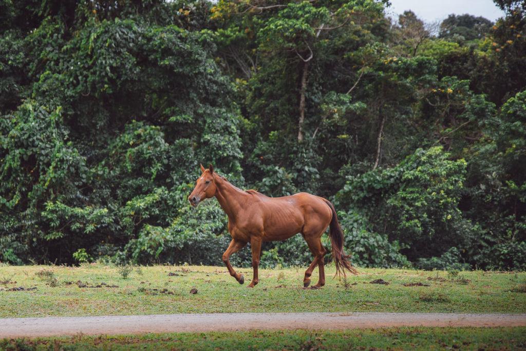 DAINTREE HORSE