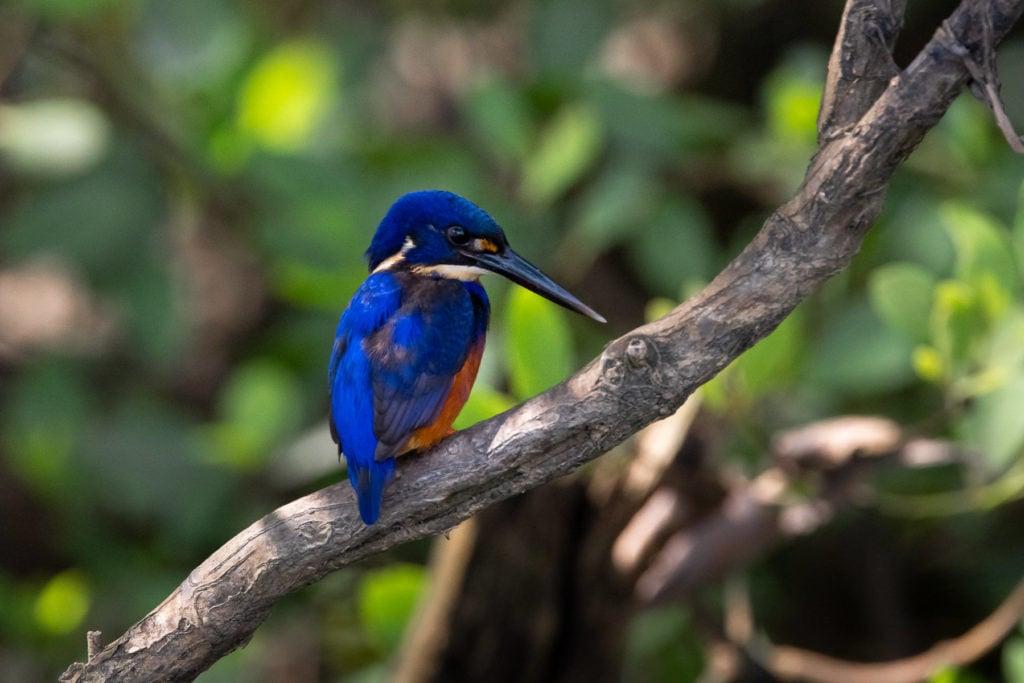 KINGFISHER BIRD DAINTREE RIVER