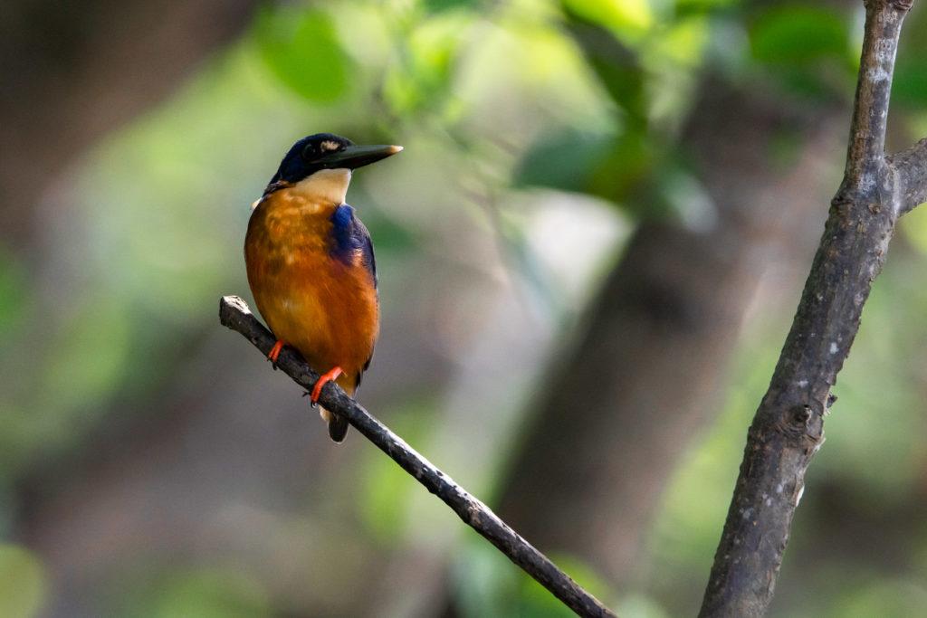 KINGFISHER BIRD DAINTREE RIVER AUSTRALIA