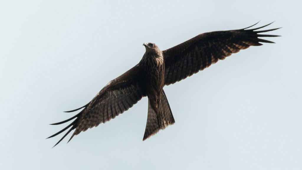 BIRD OF PREY ON THE DAINTREE RIVER