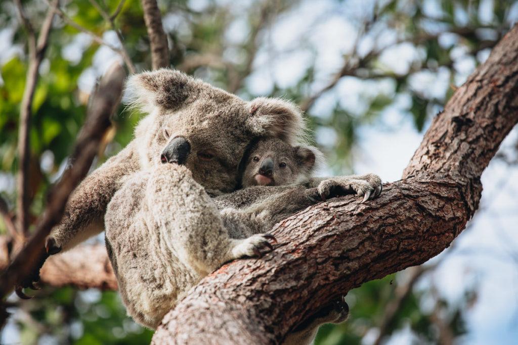 KOALA MUM AND BABY IN KURANDA, AUSTRALIA