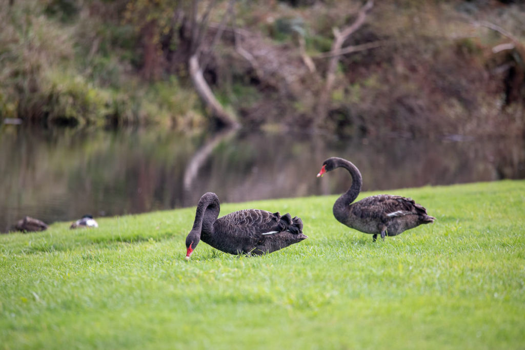 Swans in the Huon Valley
